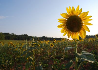 Sunflowers at Cedar Falls Farm, Hart County GA