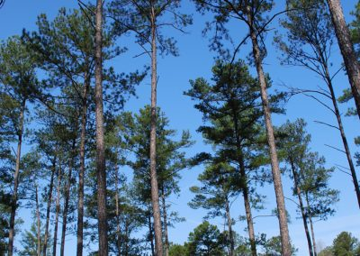 Pine forests - perfect quail habitat