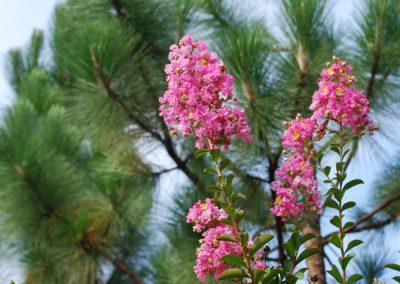 Long-leaf pine and Crepe Myrtle