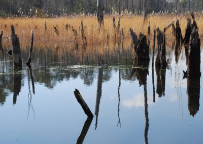 Grasses grow in the beaver pond