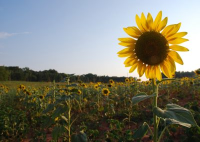 Sunflowers on Cedar Falls Farm